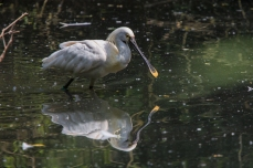Spoonbill walking in the water