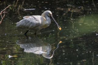 Spoonbill walking in the water