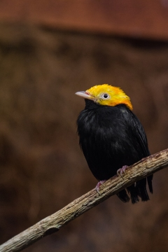Golden headed manakin: isn't he cute?