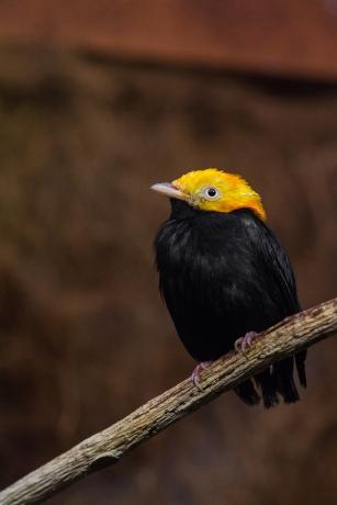 Golden headed manakin: isn't he cute?