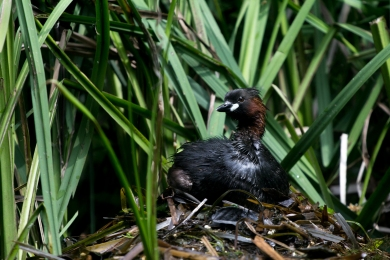 Little grebe brooding