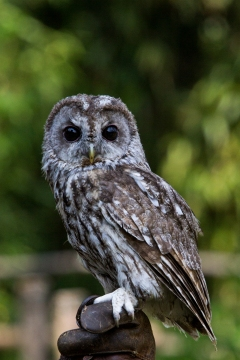 Pygmy owl. It's so tiny and cute *.*