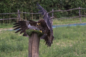 Eagle about to capture a... piece of meat...