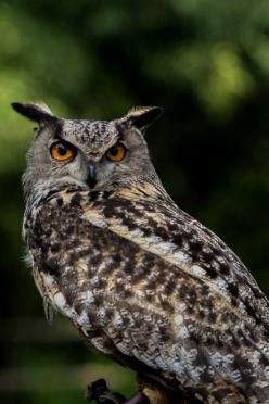 Royal owl. Just look at those eyes!!!