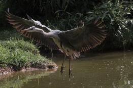 Gerey heron landing